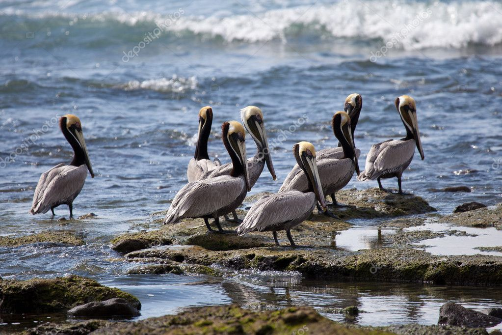the habitat and feeding of the brown pelicans The brown pelican is a comically elegant bird with an oversized bill, sinuous neck, and big, dark body they feed by plunge-diving from high up.