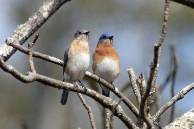 A pair of bluebirds
