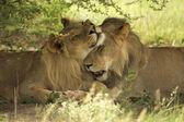 Fotografia leoni di baciarsi