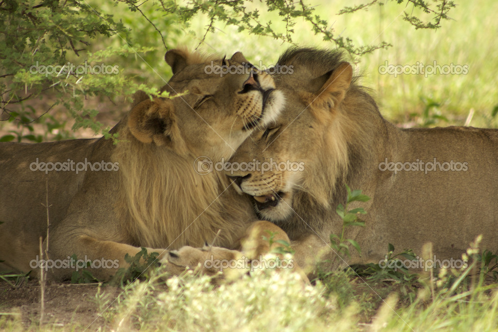 Lions kissing each other