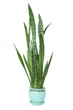 Sansevieria trifasciata green plant in flower pot isolated