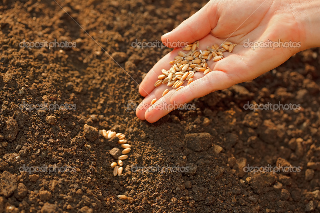 Corn sowing by hand