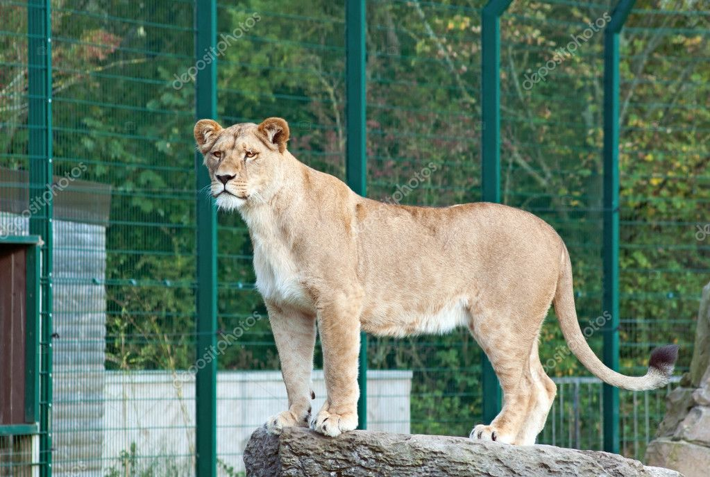 Lioness P Leo On The Rock Stock Photo Meoita 4736954