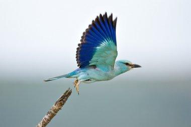 Eurasian Roller