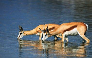 Springbok in water