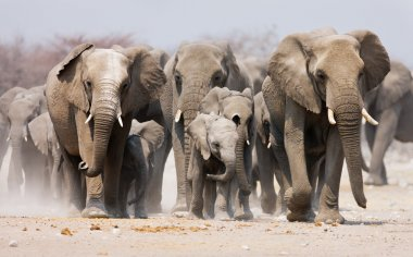 Large herd of elephants approaching over the dusty plains of Etosha stock vector