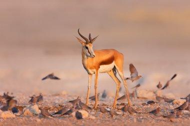 Springbok between swarm of doves
