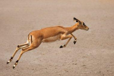 Black-faced impala running