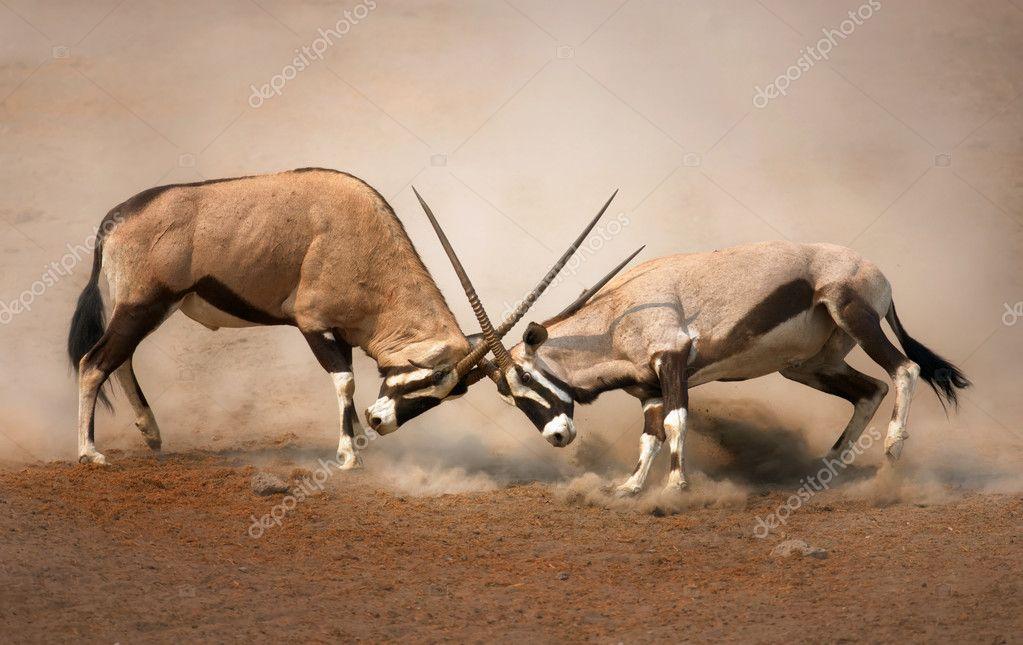 Gemsbok antelope fighting stock vector