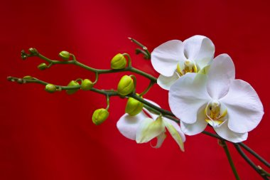 White orchid on red background
