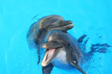 Two dolphin swimming in the pool