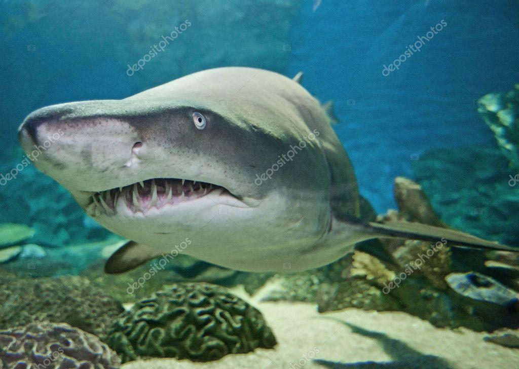 Ragged tooth shark in an aquarium
