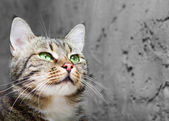 Fotografie Beautiful European cat in front on a gray background