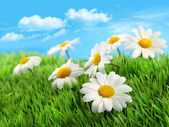 Fotografie Daisies in grass against a blue sky