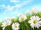 White summer daisies in tall grass