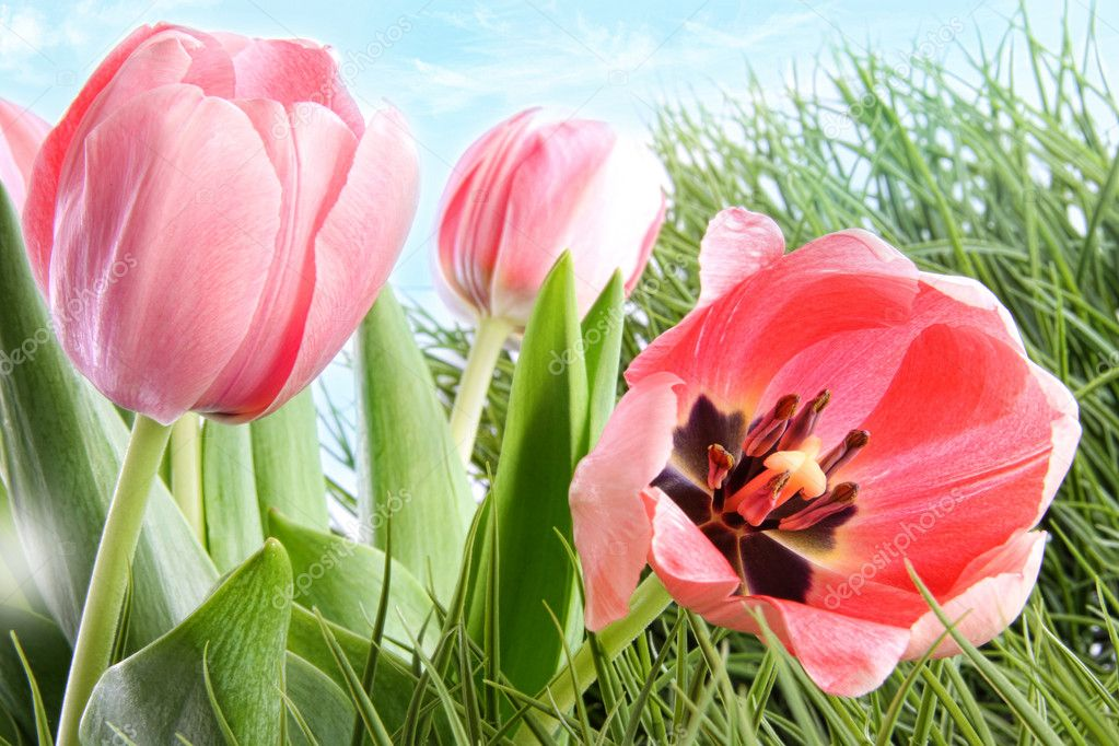 Colorful spring tulips in tall grass
