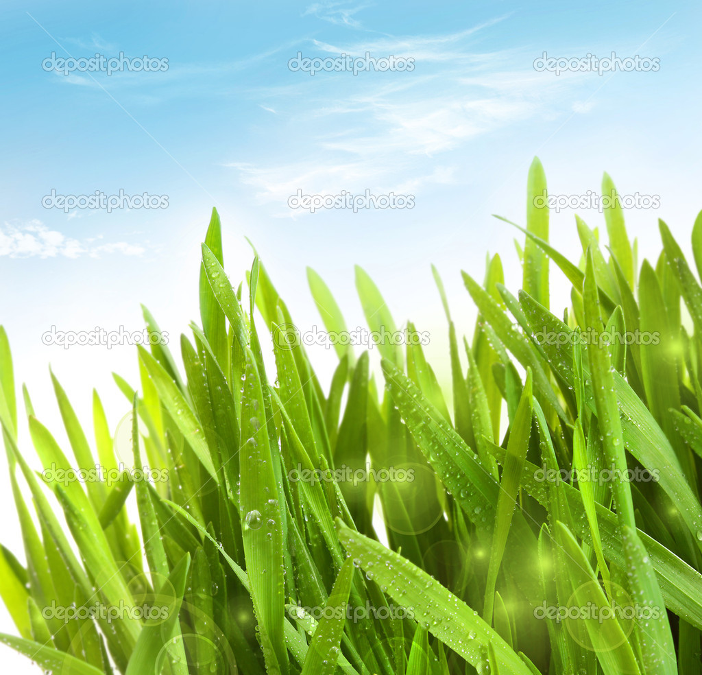 Fresh wheat grass with dew drops