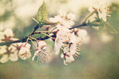 Fotografie Apple blossom branch in early spring