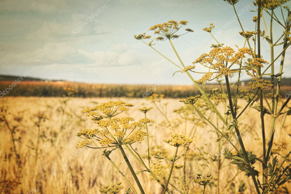 Late summer field of wild dill