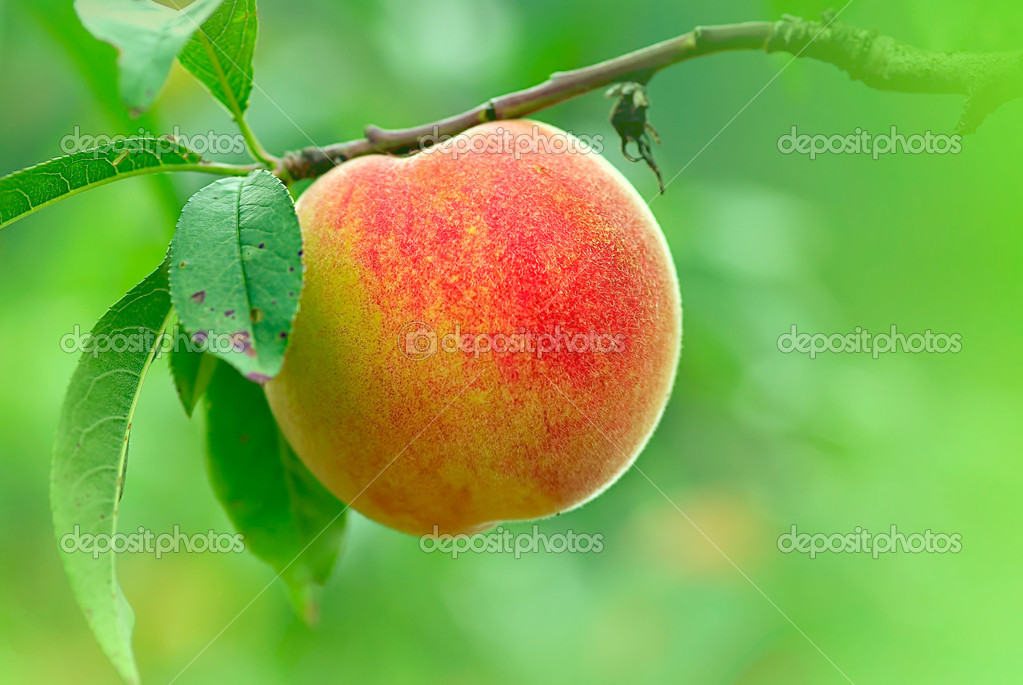 Water peaches with nice backgrund green color