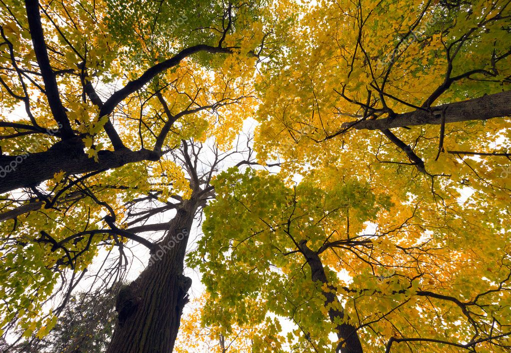 View from below at the crown of autumn trees in the park