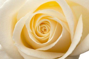 Glow inside the white roses. Macro