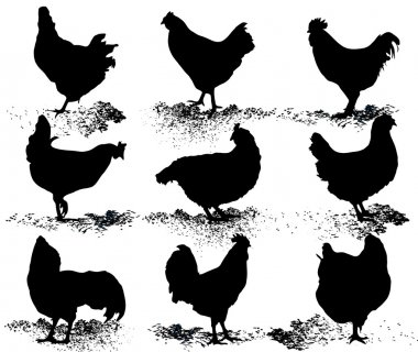 Silhouette of hens