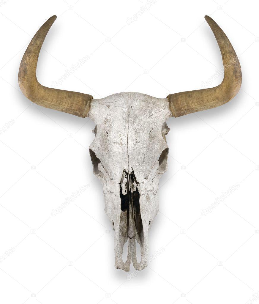 Cow Skull — Stock Photo © hddigital #4052909