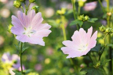 Lavatera flowers