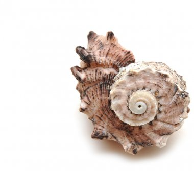 Sea shell on white background