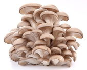 Fotografie Oyster mushrooms on a white background
