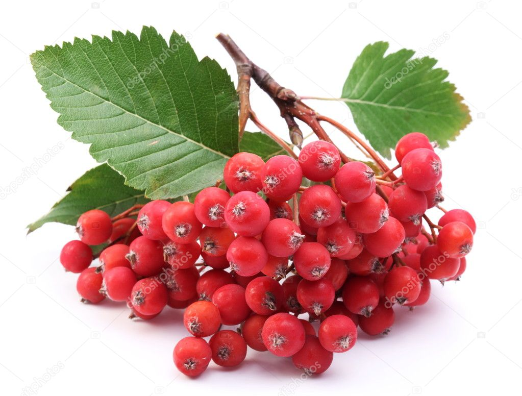 Cluster of rowan berries on a white background.