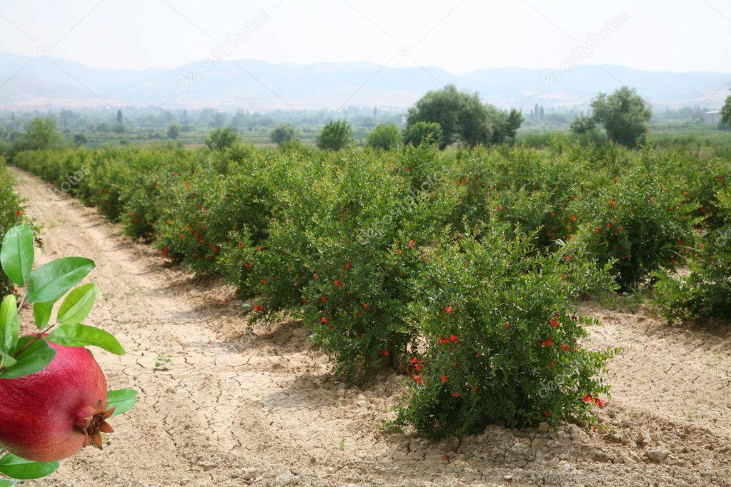 Plantation of pomegranate trees in Turkey.