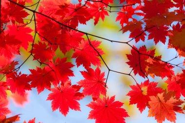 Bright autumn leaves of maple
