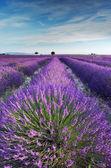 Fotografie levandulové pole v provence v časných ranních hodinách ráno
