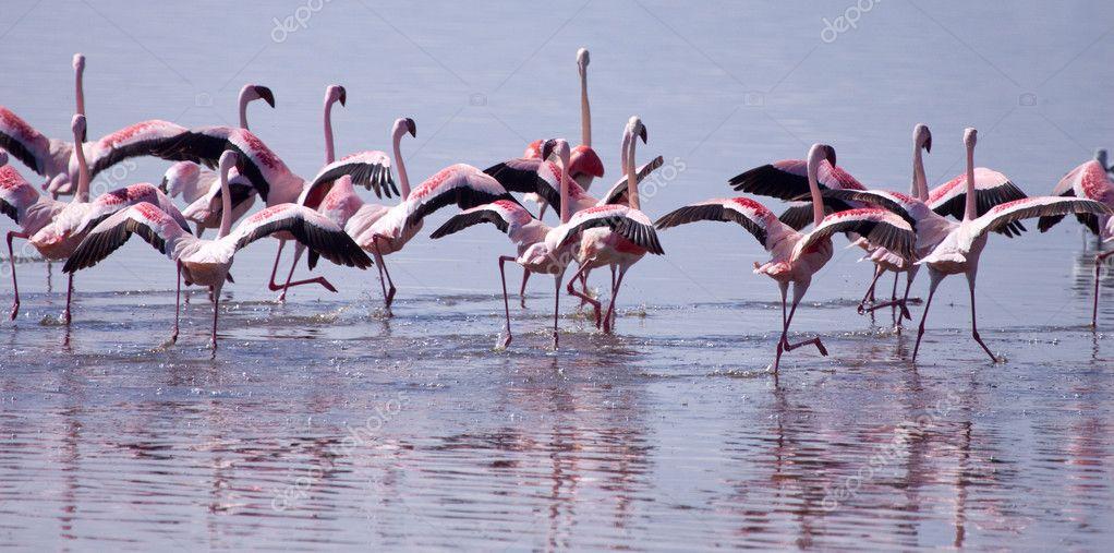 Flamingos Taking Flight