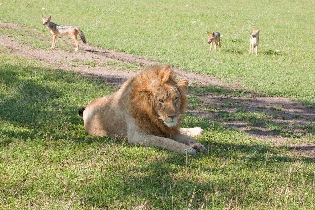 Lion Squatter