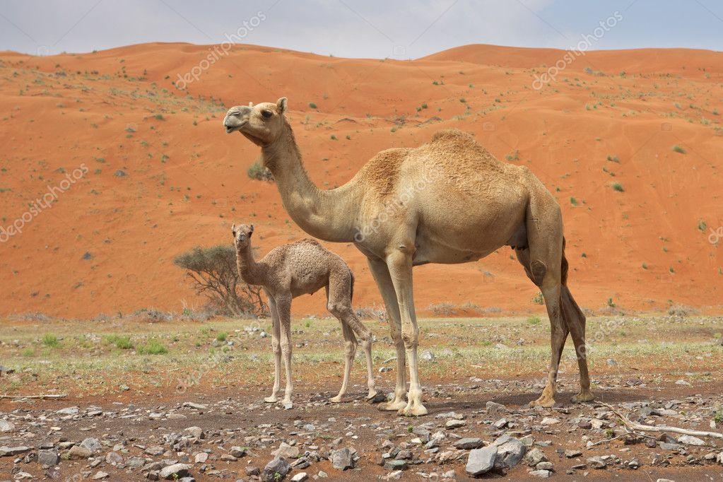 Camel and Calf — Stock Photo © zambezi #4085047