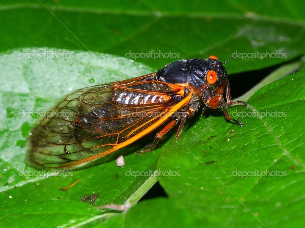 Periodical Cicada (Magicicada septendecim)
