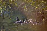 Fotografie Ente und Entenküken unter Blättern