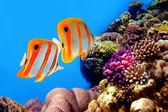 Fotografie Copperband butterflyfish