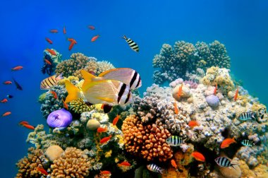 Tropical Fish on a coral reef and Doublebar bream (acanthopagrus bifasciatus)