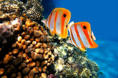 Coral reef and Copperband butterflyfish (Chelmon rostratus)