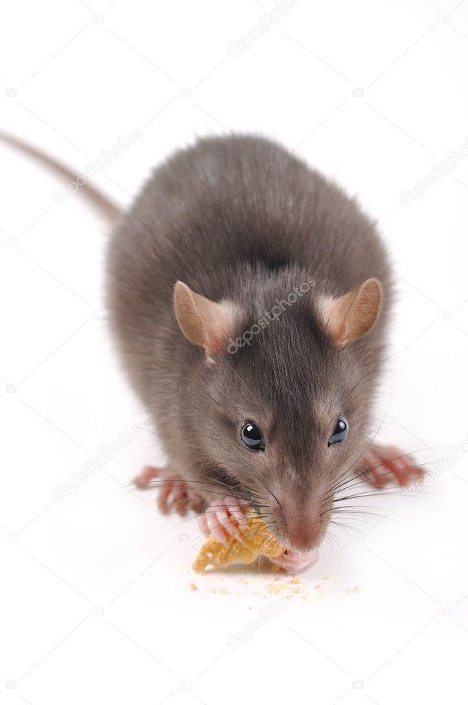 Rat with cookies