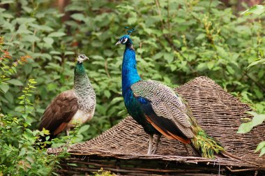 A pair of peacocks sitting on the roof