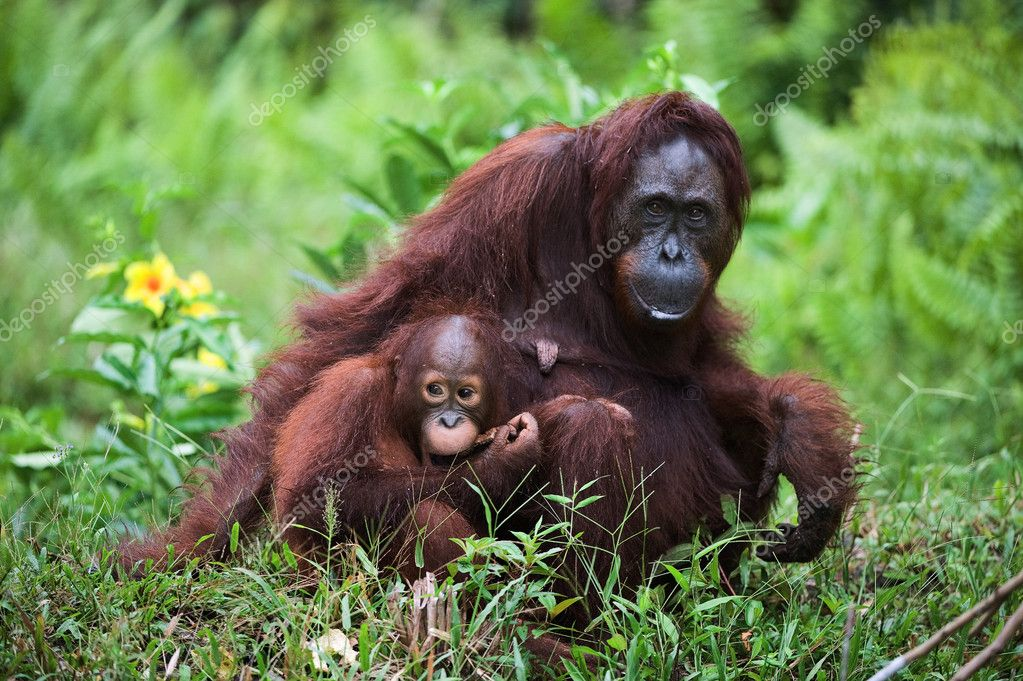 Female the orangutan with the kid on a grass.