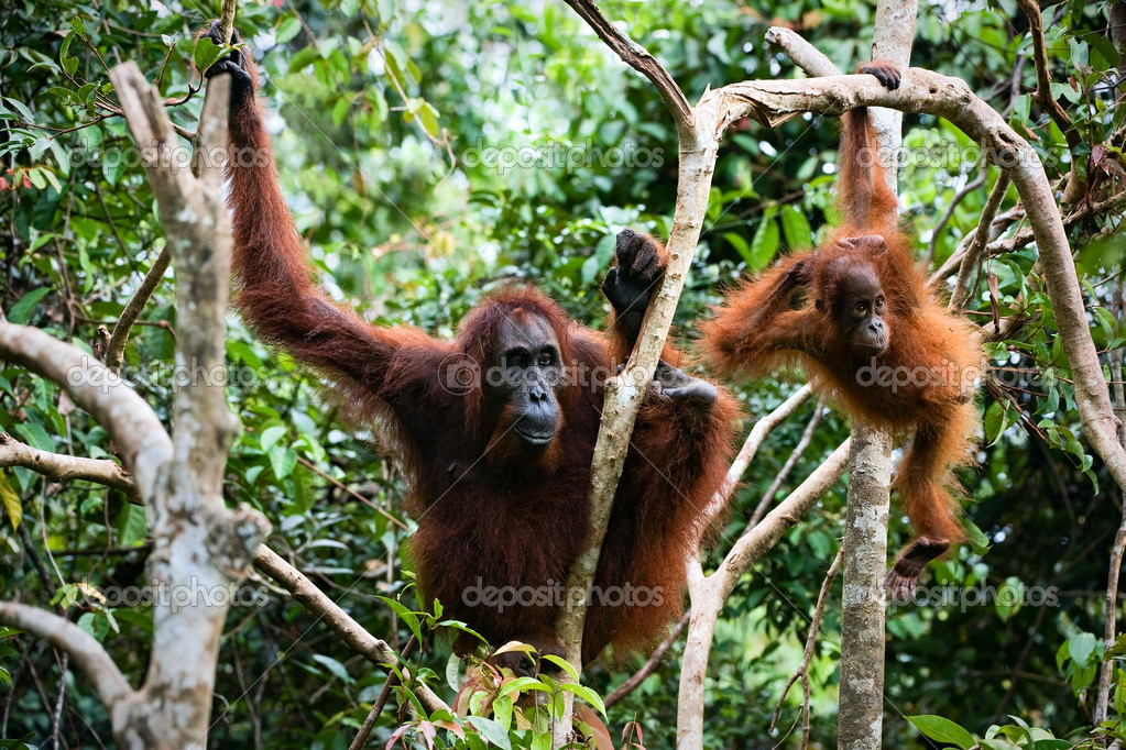 Female the orangutan with the kid in branches of trees