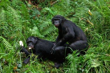 Bonobo love.
