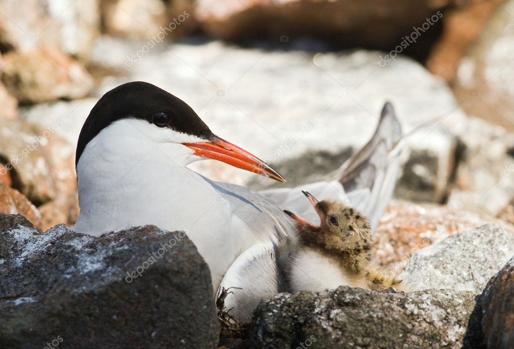 Tern and baby.