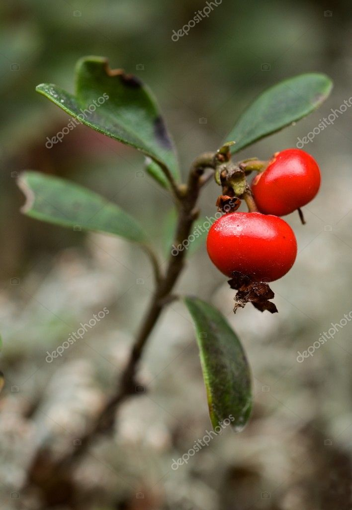 Bearberry.